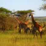 safari-afryka-serengeti-dzikababa-trampi