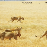 safari-afryka-serengeti-zanzibar-dzikababa-2