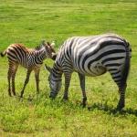 safari-afryka-serengeti-zanzibar-dzikababa